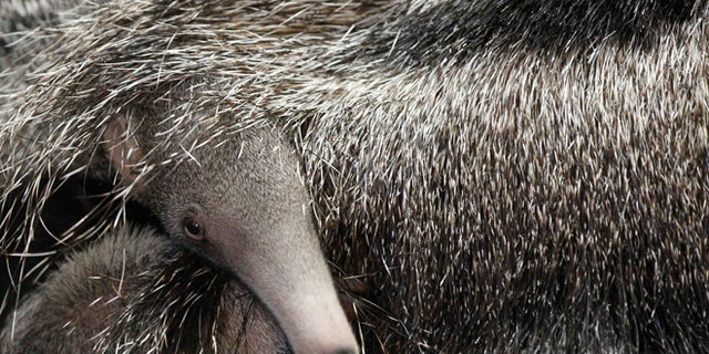 A baby giant anteater hides beneath its mother's tail in their enclosure.