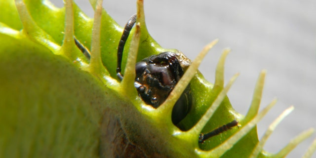 An ant dies after an unsuccessful attempt to escape a Venus Flytrap in Singapore June 23, 2009. (REUTERS/David Loh)