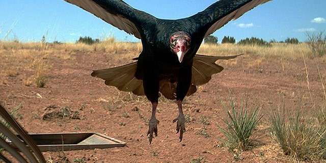 In this 2017 photo from a U.S. Fish and Wildlife Service motion-activated camera, a vulture comes in for a landing at the Sevilleta National Wildlife Refuge in New Mexico. Motion-detecting wildlife cameras are yielding serious science as well as amusing photos. From ocelots in the desert to snow-loving lynx high in the Northern Rockies, remote cameras are exposing elusive creatures like never before. (U.S. Fish and Wildlife Service via AP)