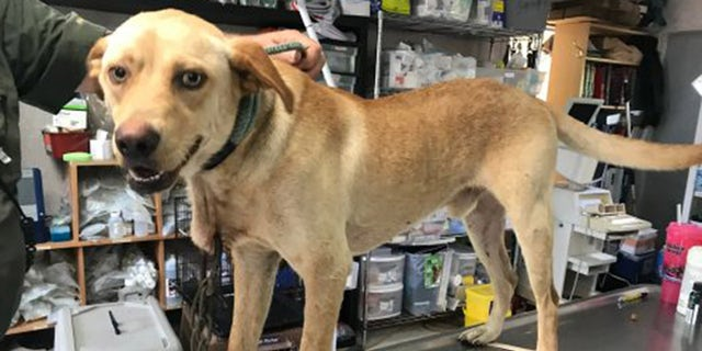 Woodrow, found with a metal carabiner through his neck, has healed from his injuries, but the search of a culprit continues.