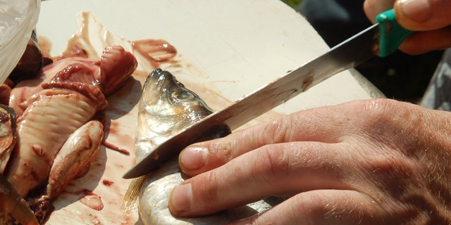 Imboweling of fish before preparation