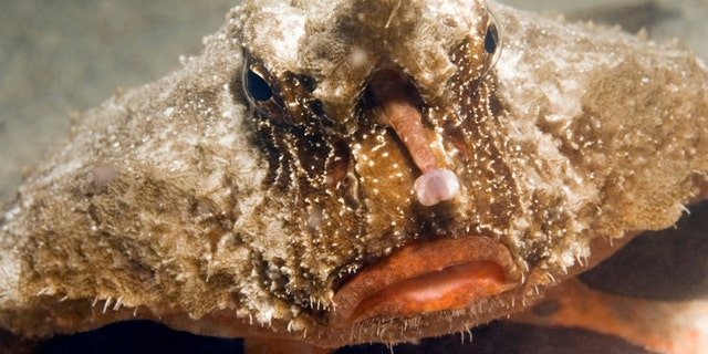 CLOSE-UP FACE VIEW OF BATFISH WAITING IN SAND BOTTOM CORAL REEF