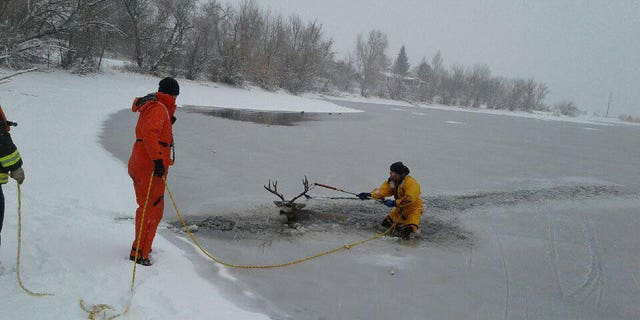 West Metro Fire Rescue cut a path through the ice to reach the deer, who appeared too exhausted to move.