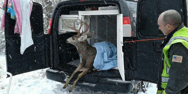 Animal Control Officers warmed the deer in a van for three hours before releasing him back into the wilderness.