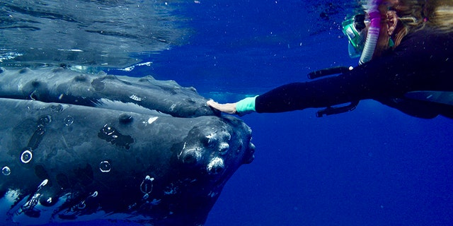 Nan Hauser was protected from a shark by a gigantic humpback whale.