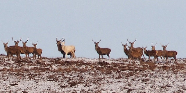 The location of the white stag sighting is being kept secret to protect the animal from poachers and hunters