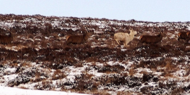 The white stag is one of just a handful in Britain