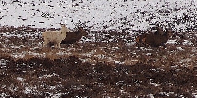 """There are numerous references to the white stag or """"white hart"""" in British folklore"""