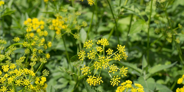 Wild parsnip plant can grow up to 5 feet tall and has a green-yellow stem.