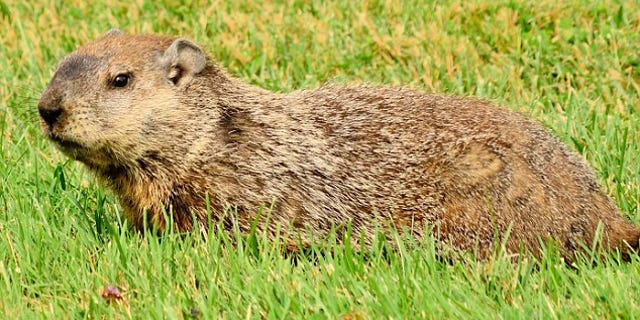 A bullet meant for a woodchuck accidentally struck a nearby golfer in Wisconsin on Monday.
