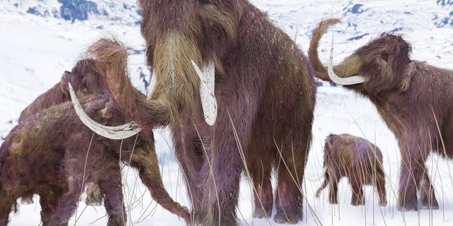 An illustration of a family of Woolly Mammoths grazing on what is left of the grasses as winter approaches in this ice age scene.