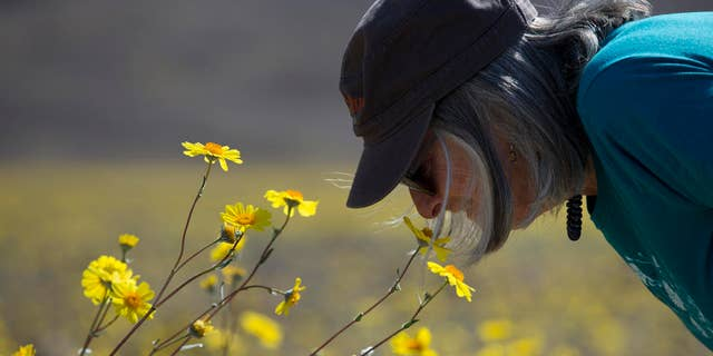 In this Wednesday, Feb. 24, 2016 photo, Jan Gilbert smells wildflowers near Badwater Basin in Death Valley, Calif. A rare super bloom of wildflowers in Death Valley National Park has covered the hottest and driest place in North America with a carpet of gold, attracting tourists from all over the world and enchanting visitors with a stunning display from natures paint brush. The most abundant and eye-catching wildflower is the aptly named desert gold, a large, bright yellow bloom that looks like a daisy.  (AP Photo/Jae C. Hong)