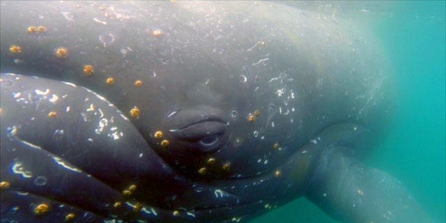 Whales equipped with digital video cameras are giving scientists new insights into a largely unknown world.