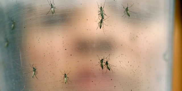 Jan. 18, 2016: In this photo, a researcher holds a container with female Aedes aegypti mosquitoes at the Biomedical Sciences Institute in the Sao Paulo's University in Sau Paulo, Brazil.