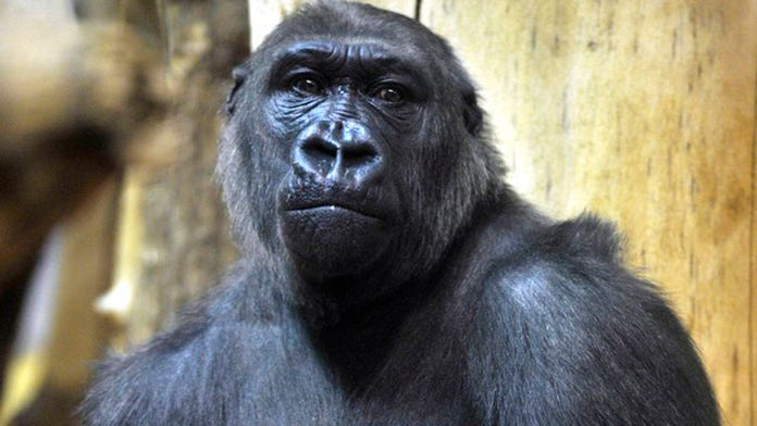 Nigerian investigators dismiss wild reports rogue gorilla ate $22G in cash at zoo, pin missing money on arm...