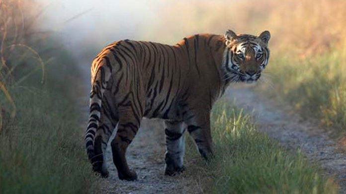 India villagers fearful as man-eating tiger remains on the prowl
