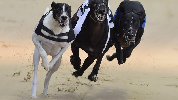 Nearly 1,000 greyhound racing dogs died last year in England, welfare groups call to end sport
