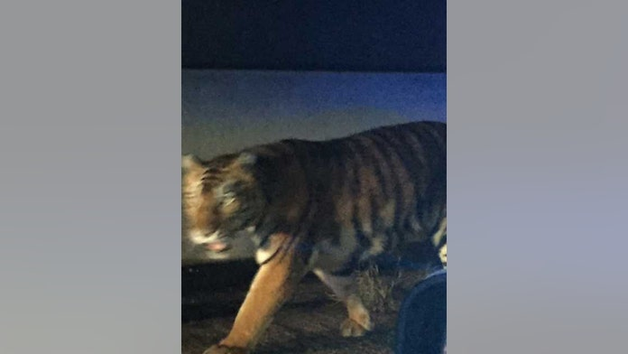 Bengal tiger gunned down in the suburbs