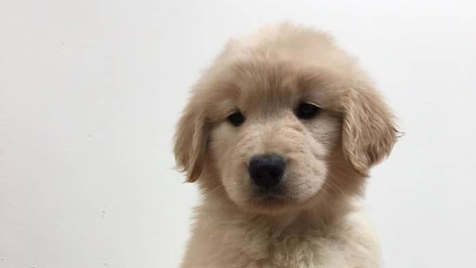 Golden retriever puppy stolen from service dog training facility