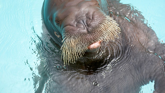 Walrus drowns trainer and tourist at wildlife park in China