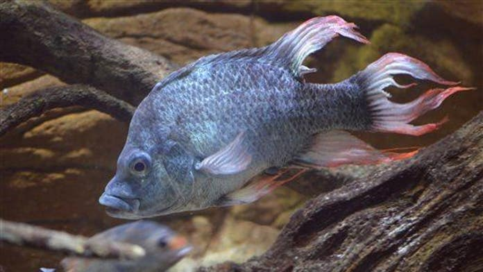 Fish can't talk, so they pee instead