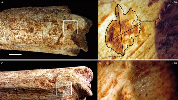 Ancient hyenas ate human relatives half a million years ago