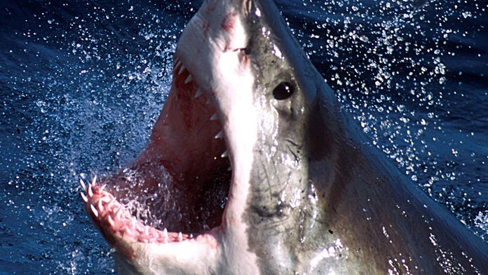 Great white shark reveals razor-like teeth as it attempts to chomp photographer's camera