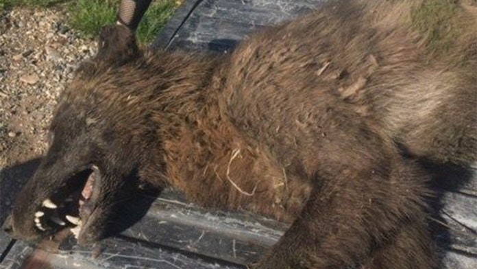 Strange wolf-like animal killed in Montana puzzles wildlife officials