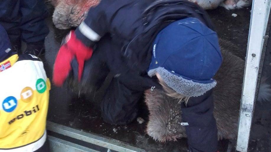 bd71a8ba-Norway Reindeer Slaughter