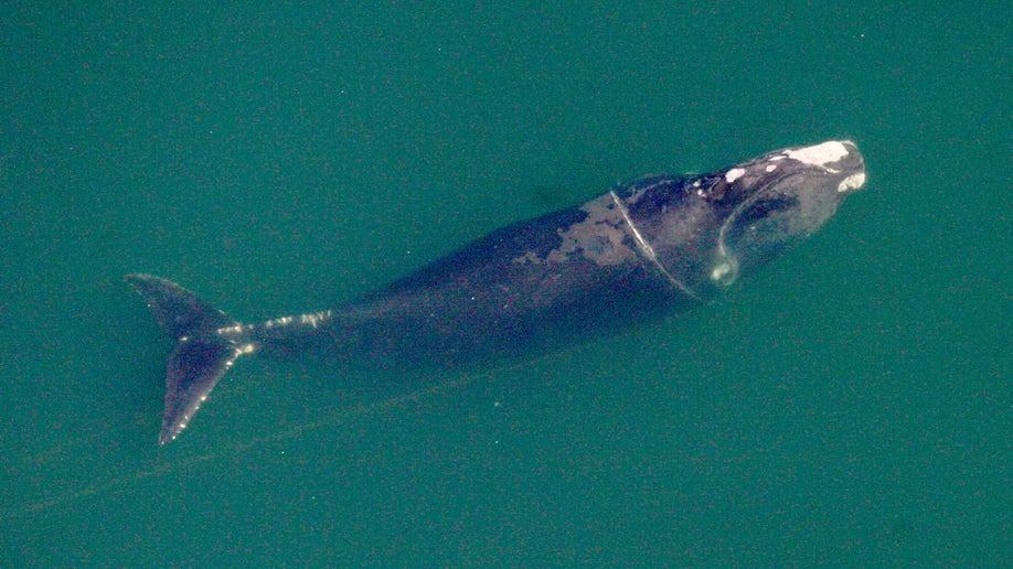 481ddfe6-Freed Whale Birth