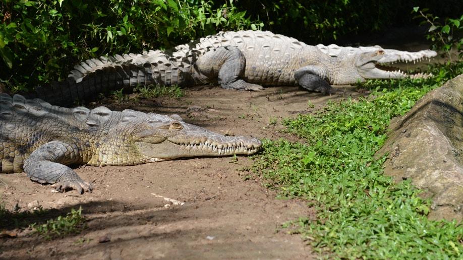 01e9c895-Jamaica Crocodile Hunting