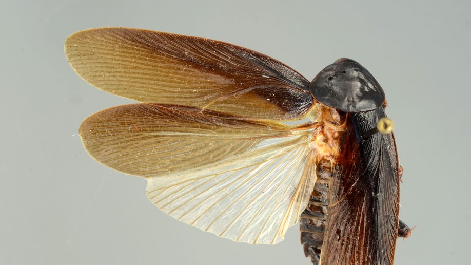 548c38e6-New Cockroach