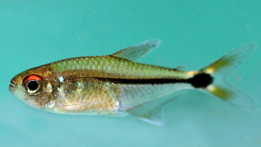 9814711e-Suriname New Species