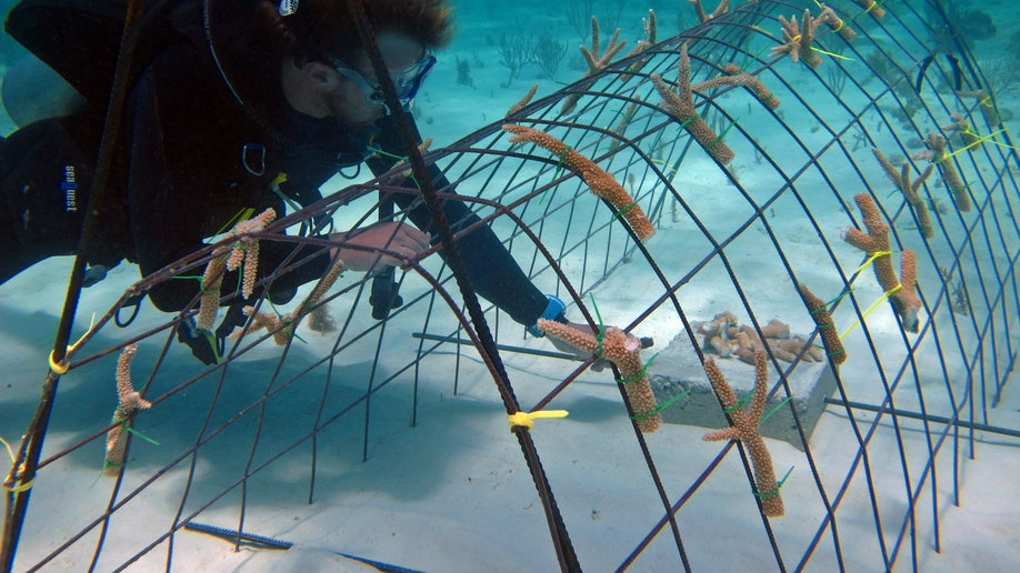 Caribbean Saving Coral