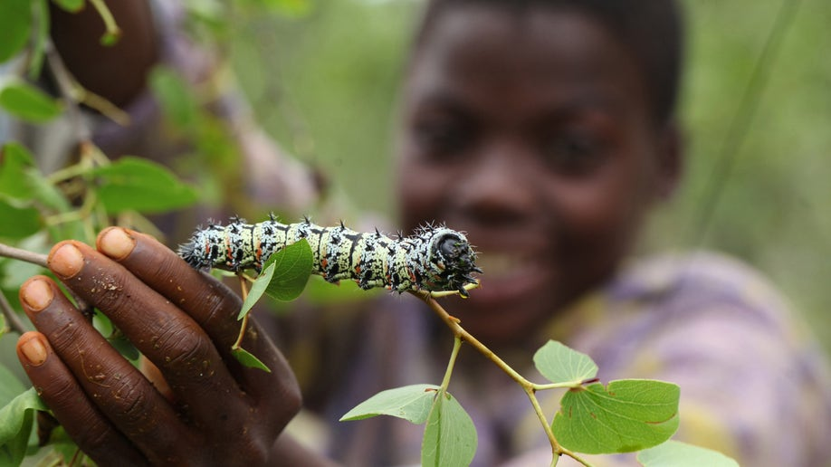 8014adfa-Zimbabwe Worms