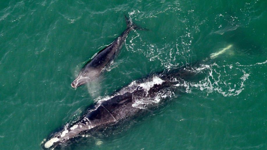 Freed Whale Birth