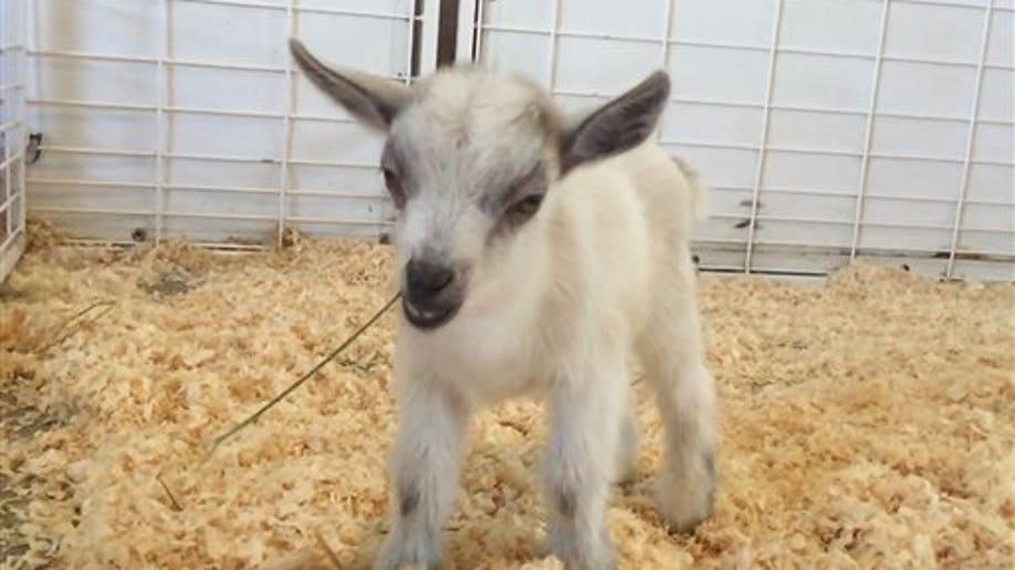 ODD Baby Goat Stolen