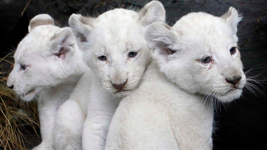 af634b25-APTOPIX Argentina White Lions
