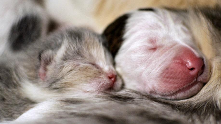 95548986-Cat Nursing Puppy