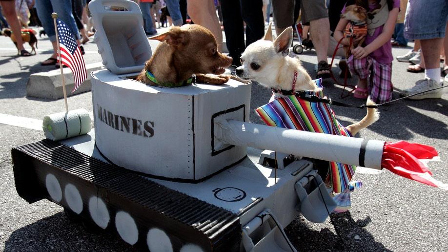 Chihuahua Invasion