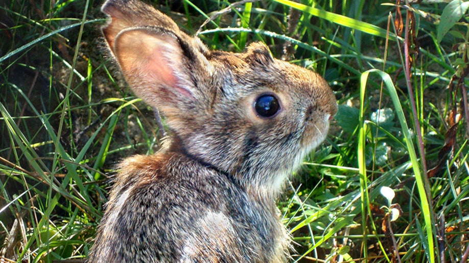 Disappearing Cottontails