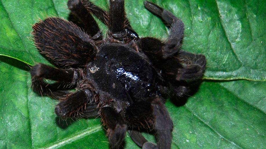 d10bc89d-India Spider Panic
