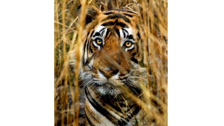 2630113e-India Tiger Tourism