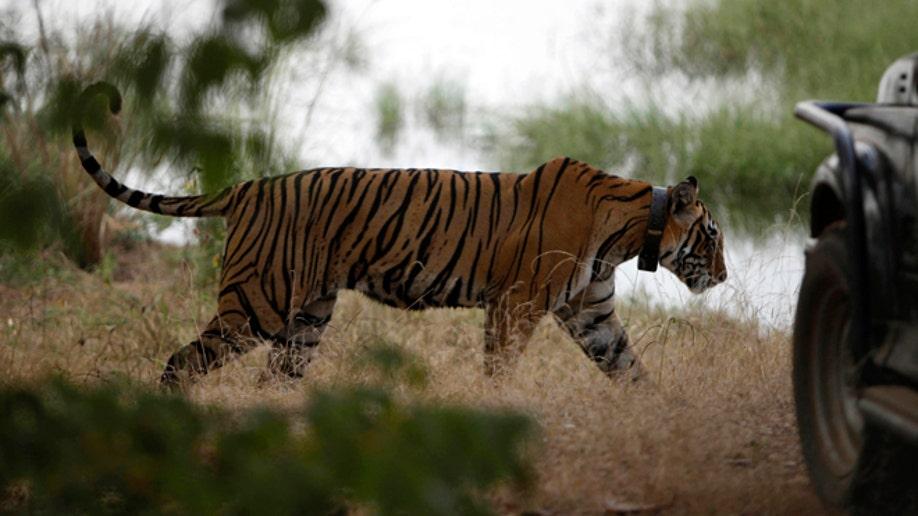 de21f8ef-India Tiger Tourism