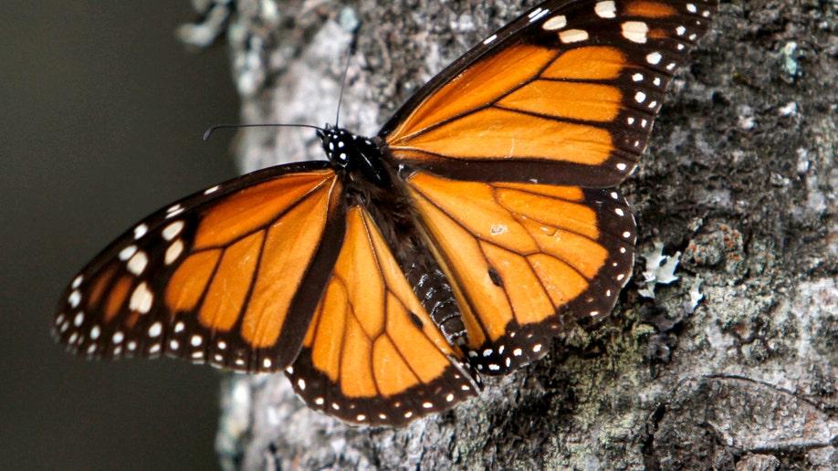 06ac8c60-Mexico Monarch Butterflies