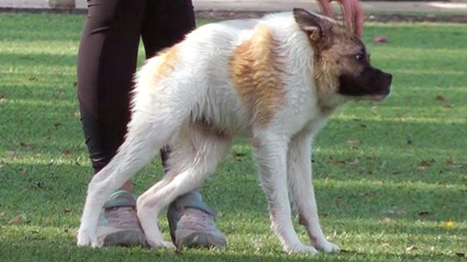 Pig-like dog becomes Internet sensation | Fox News