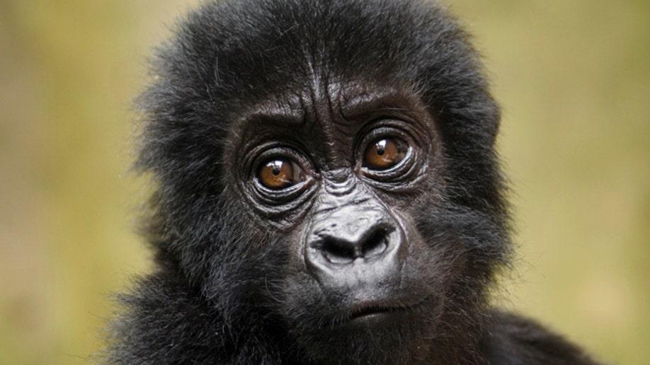7c216232-India Primates in Peril