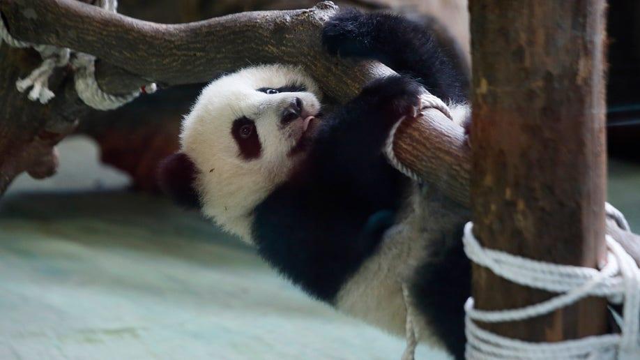 Taiwan Pandamonium