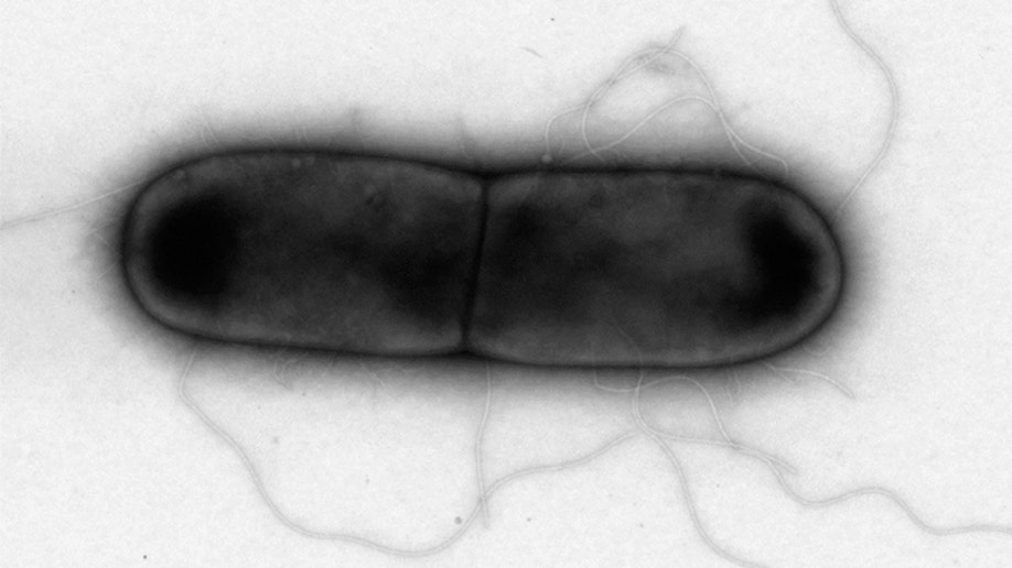 Bacteria-eating viruses found to effectively destroy C