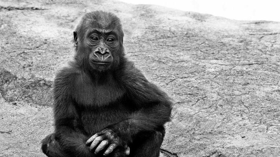65fe96c5-Zoo-Gorilla Death